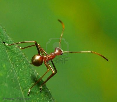 2335039-a-bug-which-looks-like-an-ant-ant-mimicking-bug-many-nymphs-look-like-ants-because-ants-are-bad-tast